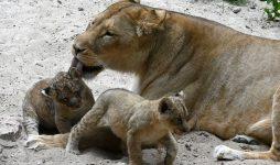 В Рижском зоопарке окрестили львят