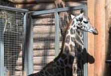 В Рижском зоопарке новая обитательница — жираф Вакилия